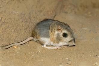Merriam's Kangaroo Rat (Dipodomys merriami)