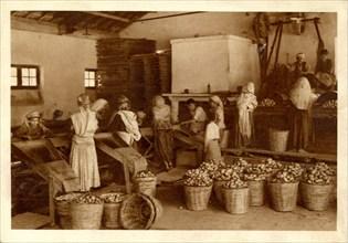 Staoueli (Algérie), le tri des pommes de terre