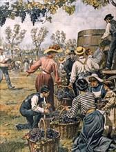 Propriétaires et jeunes femmes remplacent les paysans pour les vendanges pendant les grèves agraires à Reggio Emilia