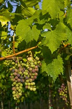 Grapes of the Sagrantino wine of Montefalco
