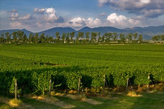 Vineyards of the Sagrantino wine of Montefalco