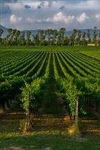 Vineyards of the Sagrantino wine of Montefalco
