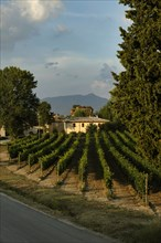 Vineyards of the Sagrantino wine of Montefalco in the Torre area