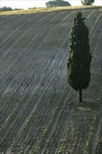 New vineyard and cypress tree near Saragano, Umbria, Italie