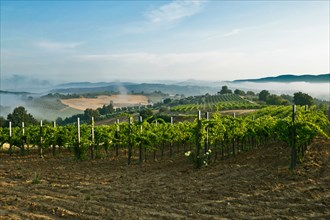 Vineyards near Saragano, Umbria, Italie