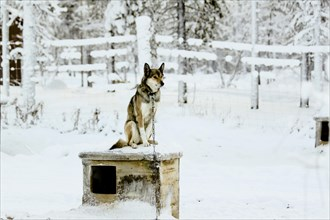 Chien de traîneau sur sa niche, Laponie, Finlande