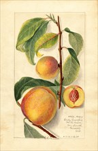 Peaches, Early Crawford and Little Peach Varieties, 1909