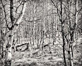 Aspen Trees, Cranbrook,