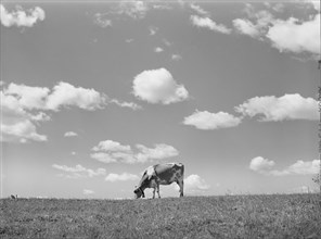 Cow in Pasture, Santi County