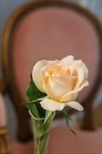 Rose dans un soliflore
