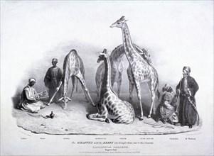 Giraffes at the Zoological Gardens, Regent's Park, Marylebone, London, 1836. Artist: George Scharf