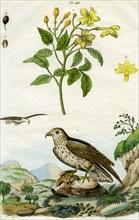 Jasmine and Short-toed Eagle, 18th or 19th century(?).Artist: Pedretti