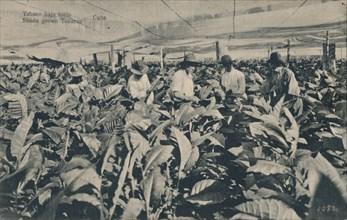 Tabaco bajo toldo. Shade grown Tobacco - Cuba, c1900. Artist: Unknown