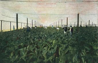 Tobacco Gathering, 1900. Artist: Unknown