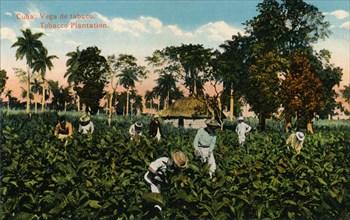 Cuba: Vega de tabaco. Tobacco Plantation, c1900. Artist: Unknown