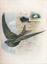 'Swift - Cyp'selus a'pus', c1910, (1910). Artist: George James Rankin.