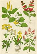 Flowers: Plantain, Sarsaparilla, Sage, Parsley, Squill, Peppermint, c1940. Artist: Unknown.