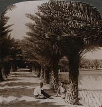 'Tropical beauty of an avenue of date palms, Moanalua near Honolulu, H. Is.' c1900. Artist: Unknown.