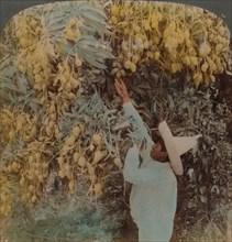 'Gathering luscious fruit from a heavily laden mango tree, Cuernavaca, Mexico', 1907. Artists: Elmer Underwood, Bert Elias Underwood.