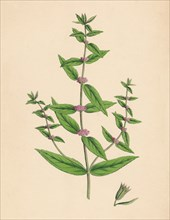 'Mentha gracilis, var. genuina. Slender Mint', 19th Century. Artist: Unknown.
