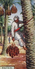 'Dates. - Gathering the Fruit, N. Africa', 1928. Artist: Unknown.
