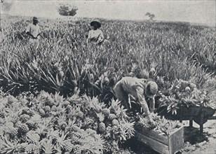 'Pine-Apple Field, Queensland', 1923. Creator: Unknown.