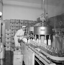 Filling milk bottles in a dairy, Landskrona, Sweden. Artist: Unknown