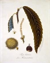 Fagus Castanea, 1803-1805.