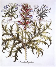 Spiny Bear's Breech and Forget-Me-Nots, from 'Hortus Eystettensis', by Basil Besler (1561-1629), pub
