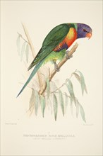 Blue Bellied Lorikeet, pub. 1916 (hand coloured engraving). Creator: Roland Green (1896 - 1972).