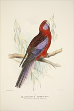 Northern Crimson Parrot, pub. 1916 (hand coloured engraving). Creator: Roland Green (1896 - 1972).