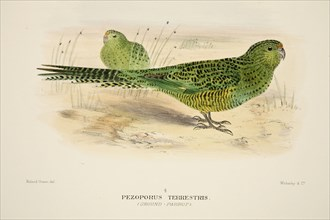 Ground Parrot, pub. 1916 (hand coloured engraving). Creator: Roland Green (1896 - 1972).
