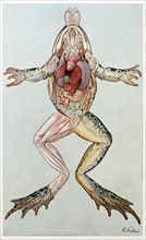 Anatomical Cross Section of a femal frog, from Brehms Tierleben, pub. 1860's.  Creator: German School (19th Century).