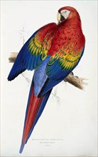 Red and Yellow Macaw (Macrocercus aracanga), pub. 1832. Creator: Edward Lear (1818-1888).