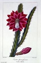 Cactus,  pub. 1836. Creator: Panacre Bessa (1772-1846).