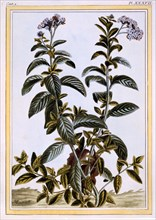 Heliotrope or Cherry Pie,  pub. 1776. Creator: Pierre Joseph Buchoz (1731-1807).