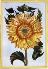 Sunflower, pub. 1776. Creator: Pierre Joseph Buchoz (1731-1807).