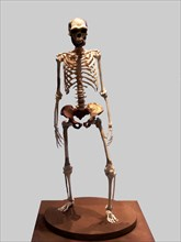 Complete Skeleton of the Talteüll Man, Homo Erectus type. 75 human remains discovered in 197, att?