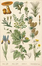 Botanical illustration, c1880s.
