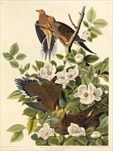 "Carolina pigeon or Carolina turtledove. From ""The Birds of America"", 1827-1838."