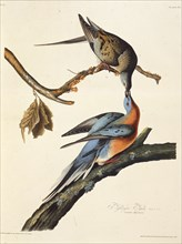 """The passenger pigeon. From """"The Birds of America"""", 1827-1838."""