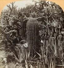 Cactus Garden, Cragin Place, Lake Worth, Florida', c1900.