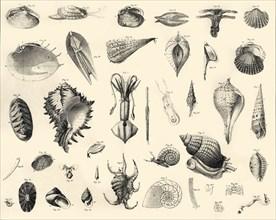 'Mollusca', c1910