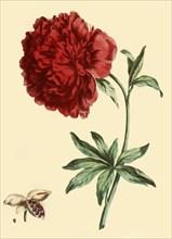 'Peony: Paeonia Faemina Flore Pleno Rubro Majore', 1769, (1946).  Creator: John Edwards.