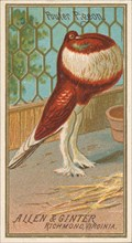 Pouter Pigeon, from the Birds of America series