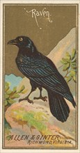 Raven, from the Birds of America series