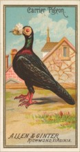 Carrier Pigeon, from the Birds of America series