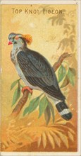 Top Knot Pigeon, from the Birds of the Tropics series
