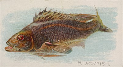 Blackfish, from the Fish from American Waters series