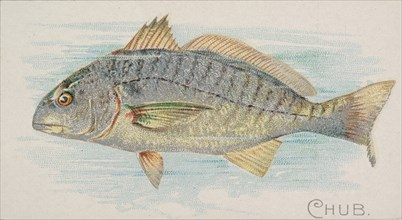 Chub, from the Fish from American Waters series